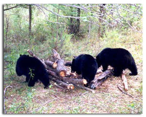 Just a few of the many black bears wandering around